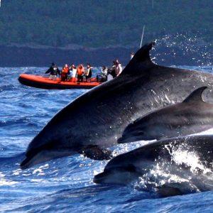 RUF DER WALE - Reisen auf die Azoren zu freien Walen und Delphinen